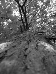 arbre-debout-nb.jpg